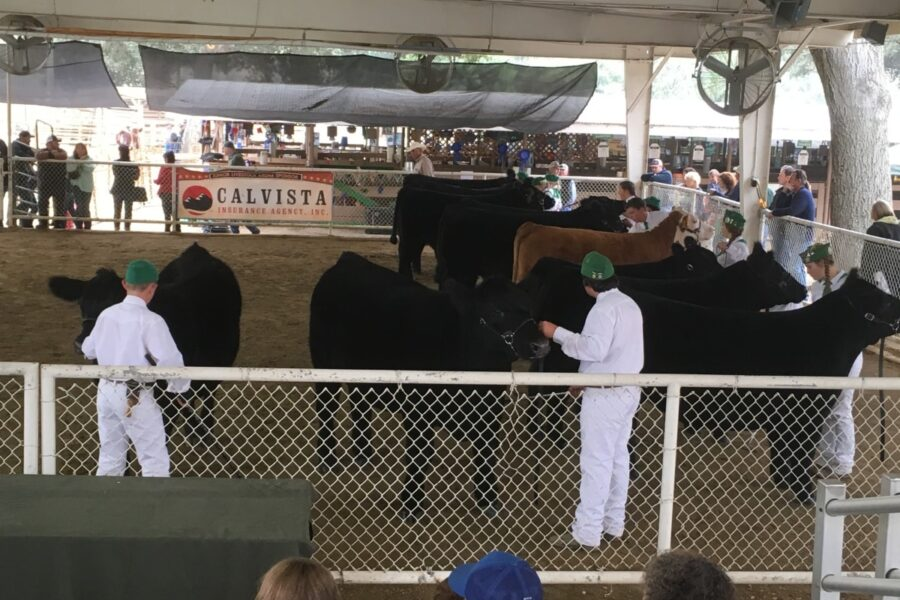 Beef show ring